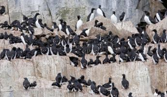 Guillemots on the cliffs.