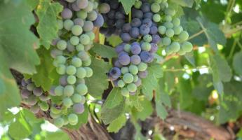 Grapes from a local winery.