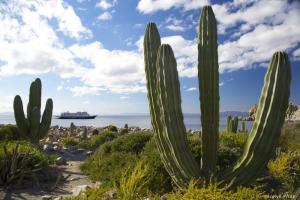 Large cacti on the coast of Mexico.