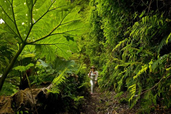 Hiking through the lush forest on Robinson Crusoe Island