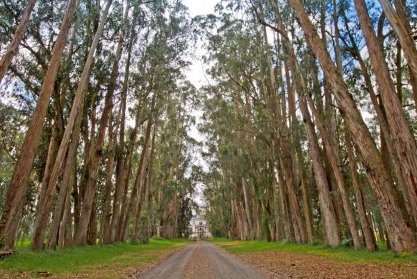 Old-growth trees line the path to the main house of Hacienda La Cienega