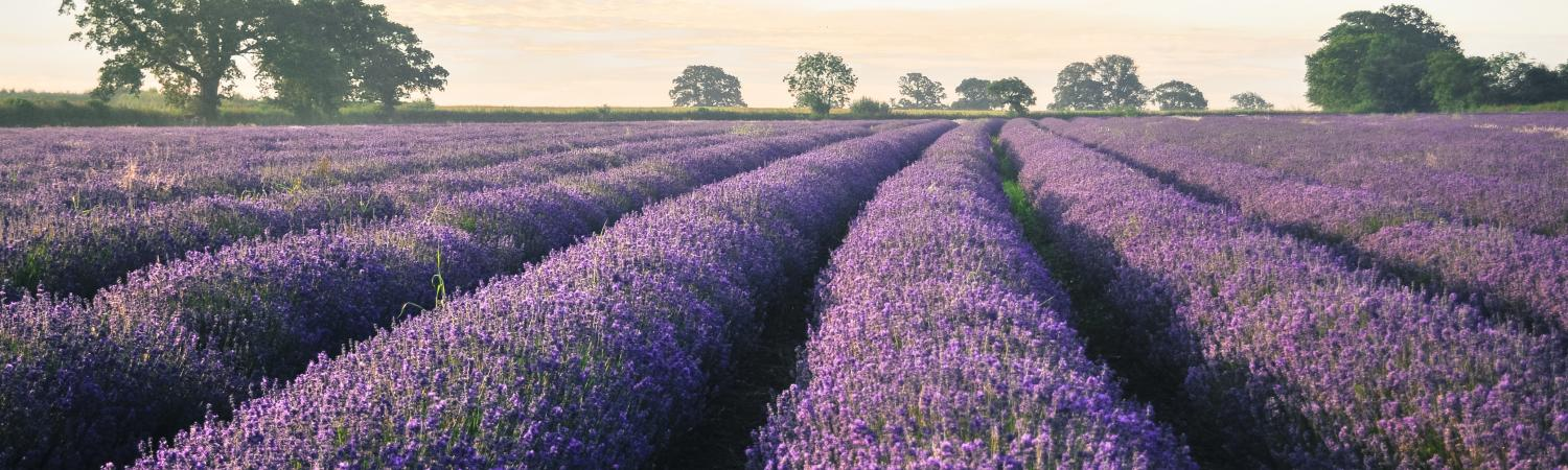 Lavender as far as the eye can see