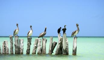 Pelicans hanging out in the ocean