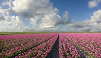 An endless tulip field