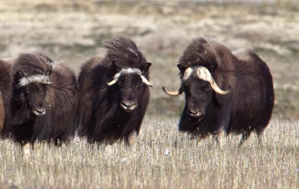 Muskox on the Arctic tundra