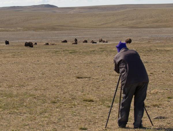 View herds of muskox during your stay at Arctic Watch