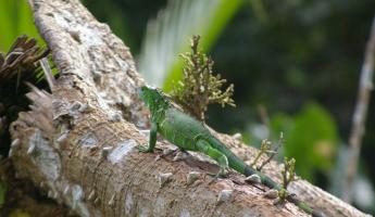Iguana in the Costa Rican rainforest