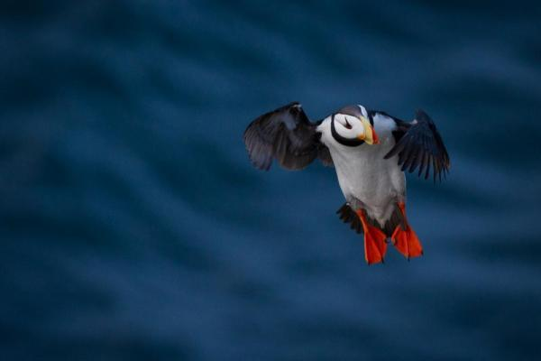 Wrangel Island Horned Puffin.