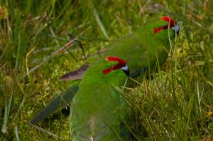 The Red-crowned Parakeet.