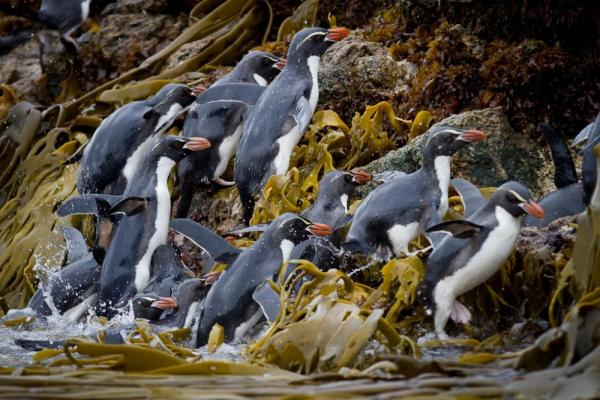 Penguins rushing up the rocky shore.