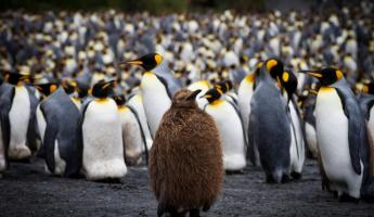 Baby penguin stands in the middle of hundreds of penguins.