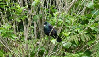 The Tui can be found on the island of Raoul.