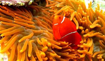 Clown fish hides in a sea anemone.
