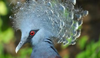 A Victoria Crowned Pigeon.