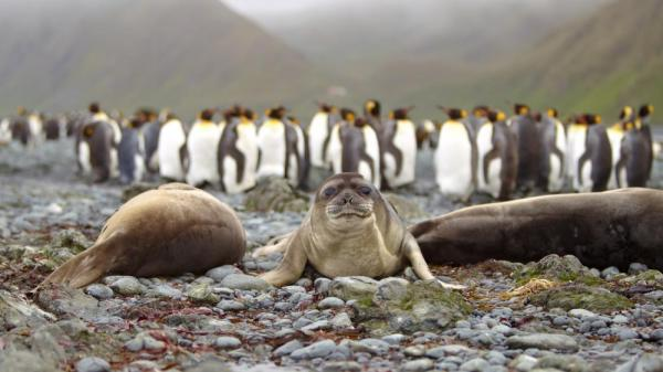 Sea lions lying on the beach by a group of penguins.