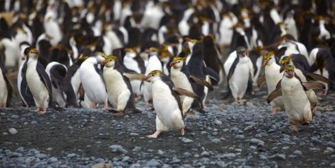 A large group of Royal Penguins