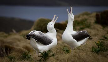 Albatrosses squack at the sky.