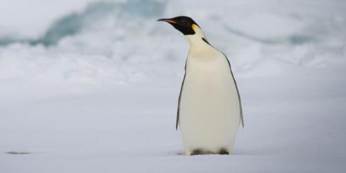 A single penguin on Antarctica.