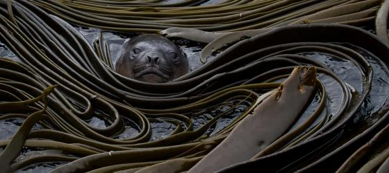 Sea lion nestled in the seaweed.