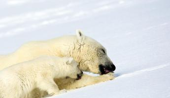 A polar bear with her cub.