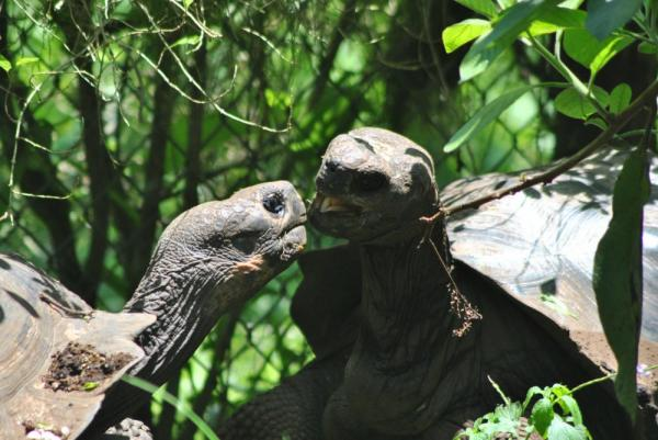 A pair of giant Galapagos tortoises