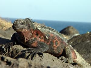 Iguana hanging out on the rocks.