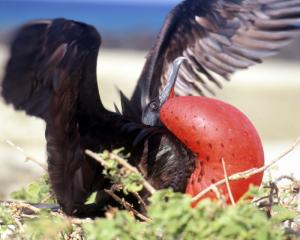 The unique Great Frigatebird found on the Galapagos Islands.