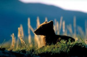 Silhouette of an arctic fox.