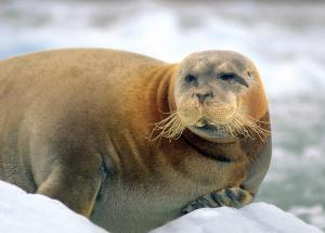 Sea lion in the arctic.