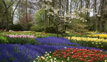 The beautiful tulip gardens of Holland