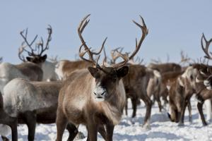 A herd of arctic caribou feed through the snow.
