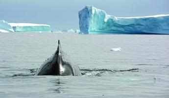 A whale makes it's way through the arctic waters.