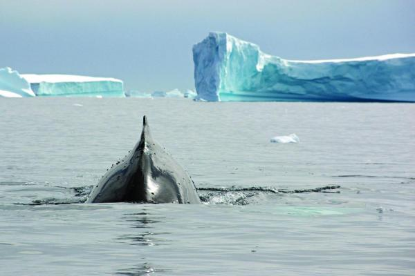 A whale makes its way through the arctic waters.