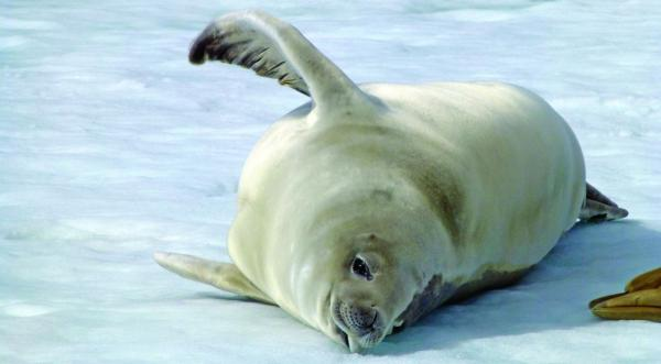 A seal rolls on the ice.