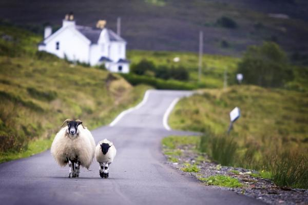 Sheep walking on the road in the countryside.