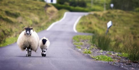 Sheep walking on the road in the British countryside.