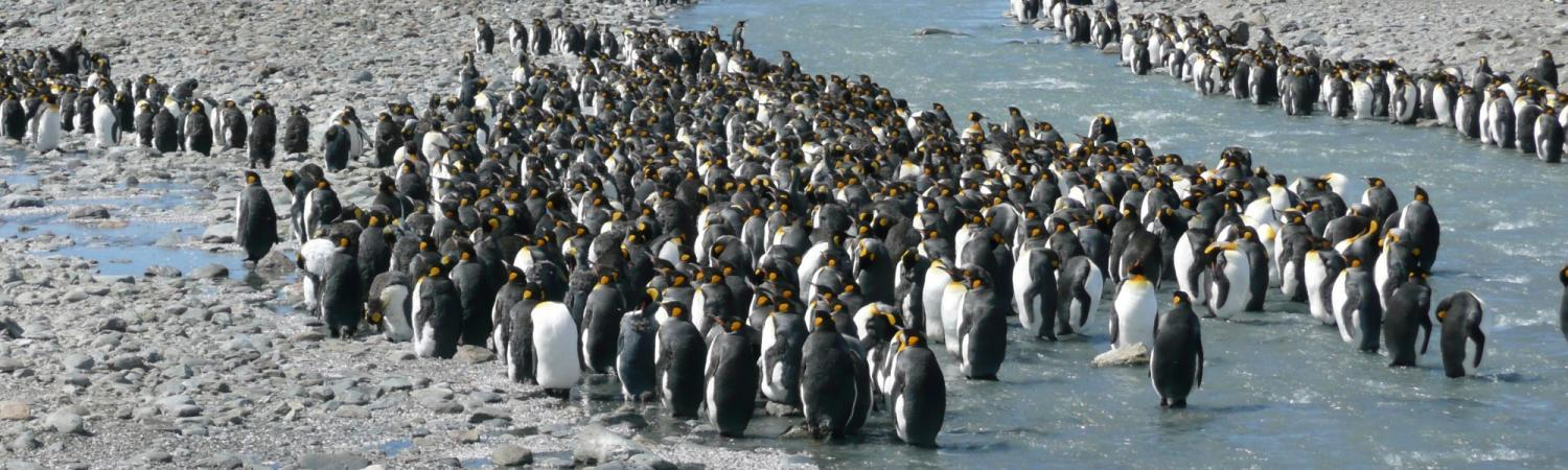 Penguins gather by the ocean.