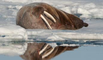 A walrus relaxes on the snow.