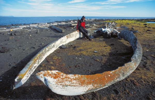 Giant whale jaw in the arctic