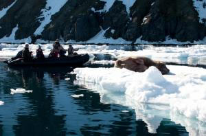 Travelers find a walrus on a zodiac trip through the arctic.
