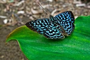 A gorgeous butterfly in Panama