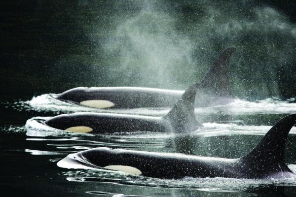 Three Killer Whales swimming side by side.