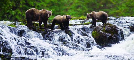 Brown Bear sow with cubs fishing for pink salmon.