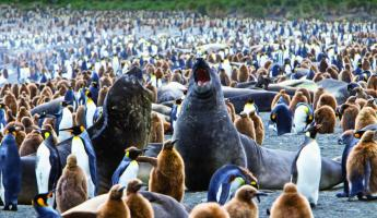 Elephant seals hanging out with a colony of penguins.