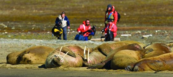Travelers photographing walrus relaxing on the bank.