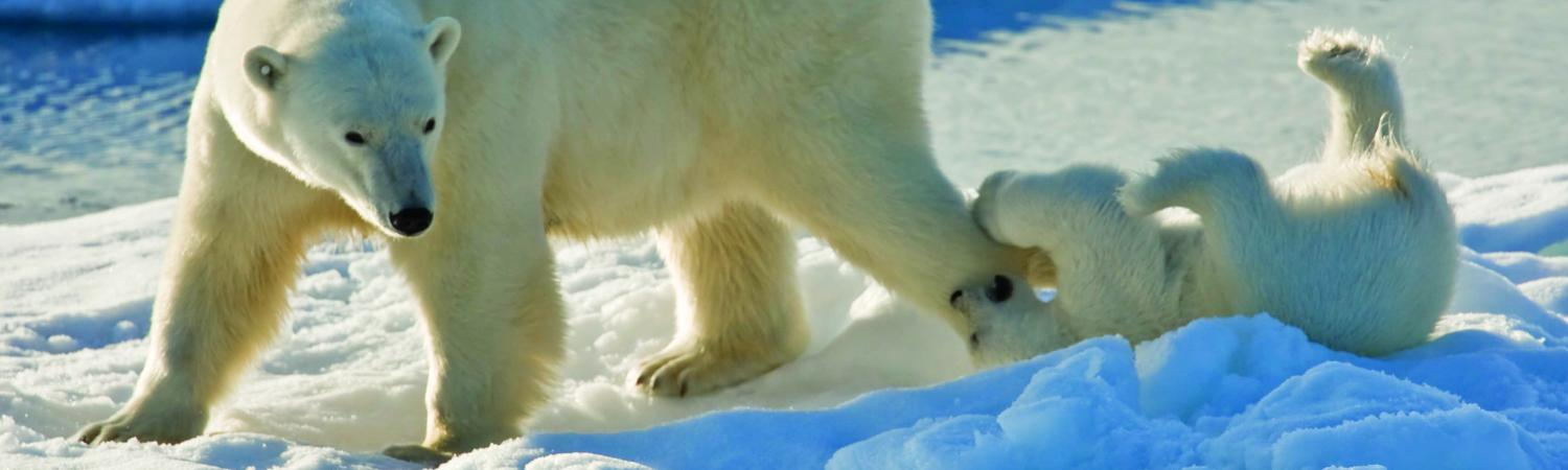 A polar bear and her playful cub.
