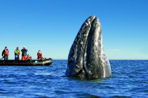 The incredible California Gray Whale emerges from the water.