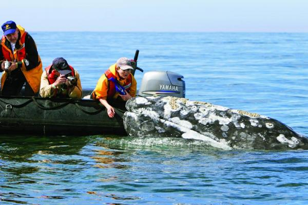 Travelers interacting with the incredibly friendly California Gray Whale.