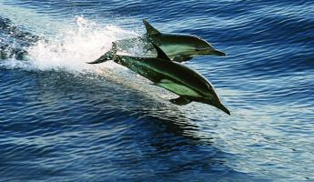 Dolphins race through the water in Baja.
