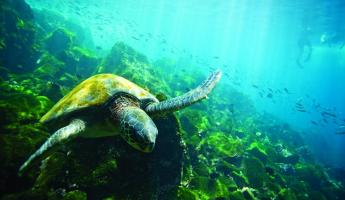 A Green Sea Turtle swimming around the reefs.